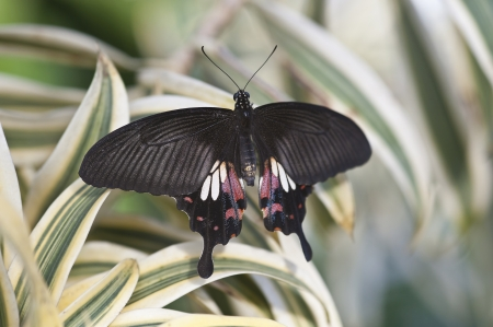 hindwing: Scarlet swallowtail butterfly