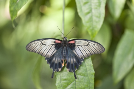 hindwing: Asian swallowtail butterfly Stock Photo