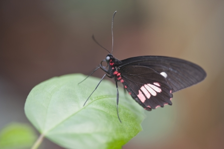 forewing: Mimic Kite Swallowtail butterfly Mimoides ilus branchus
