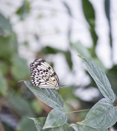 forewing: Tree Nymph butterfly Idea Leuconoe