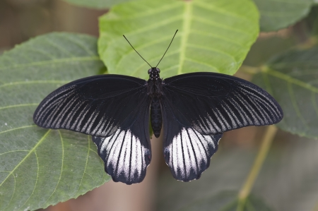 hindwing: common mormon papilio polytes butterfly Stock Photo