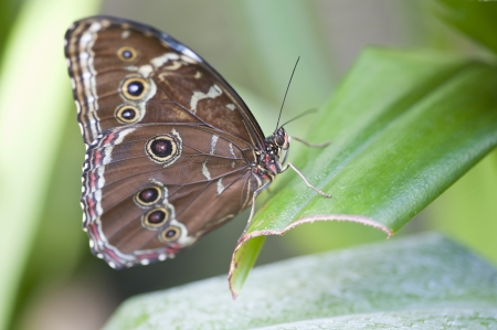 forewing: achilles morpho butterfly