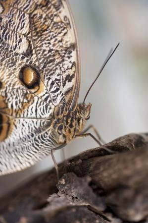 forewing: Owl butterfly Caligo Eurilochus Stock Photo