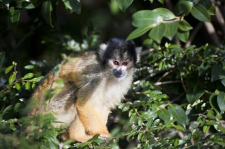 mischevious: Bolivian black capped squirrel monkey, Saimiri Boliviensis Boliviensis