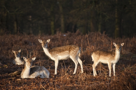 Fallow deer in Autumn Fall forest photo