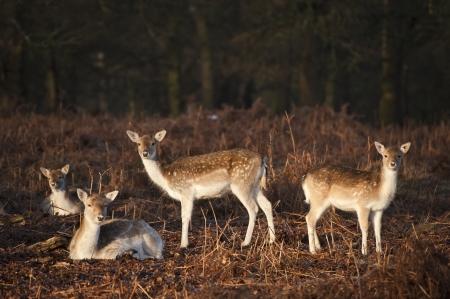 herd deer: Fallow deer in Autumn Fall forest Stock Photo