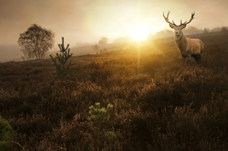 Beautiful forest landscape of foggy sunrise in forest with red deer stag