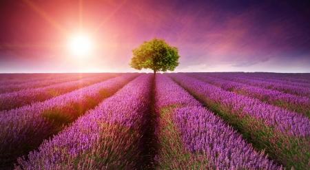 ラベンダーのフィールド夏サンバーストと地平線上の単一のツリーと日没の風景の美しい画像