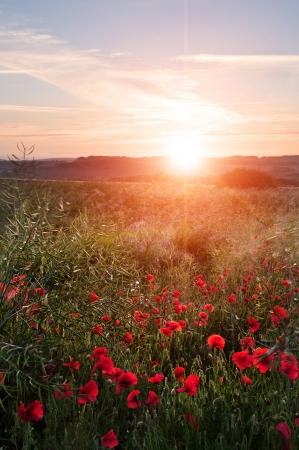 Landscape of poppy field in Summer evening sunset photo