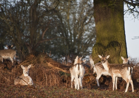 fallow deer: Herd of fallow deer in forest Stock Photo