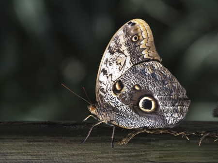 hindwing: owl butterfly