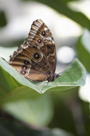 hindwing: achilles morpho butterfly