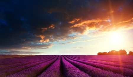 Stunning lavender field landscape at sunset in Summer photo