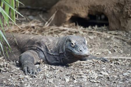 varanus: Komodo Dragon Varanus Komodoensis