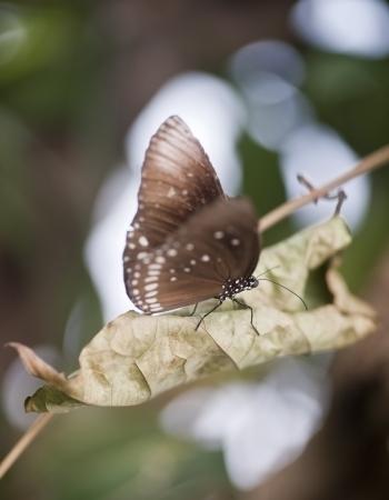 forewing: Common Crow butterfly Euploea Cora
