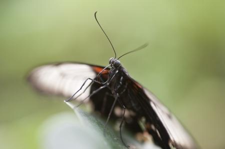 forewing: Mocker Swallowtail butterfly Papilio Dardanus Stock Photo