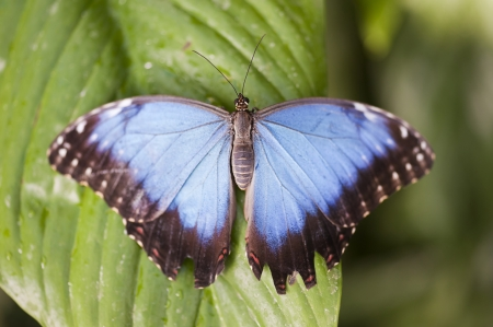hindwing: Blue Morpho butterfly