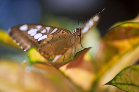 forewing: Malay lacewing butterfly