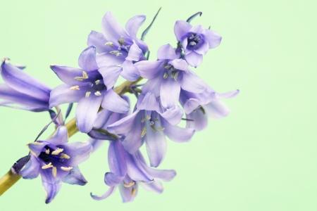hispanica: spanish bluebell hyacintoides hispanica