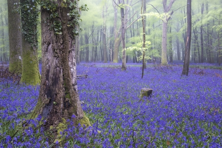 Beautiful carpet of bluebell flowers in misty Spring forest landscape Stock Photo