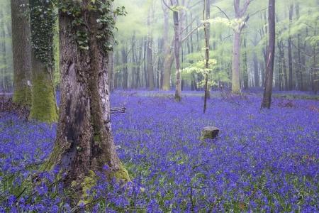 Mooi tapijt van Bluebell bloemen in mistige lente boslandschap