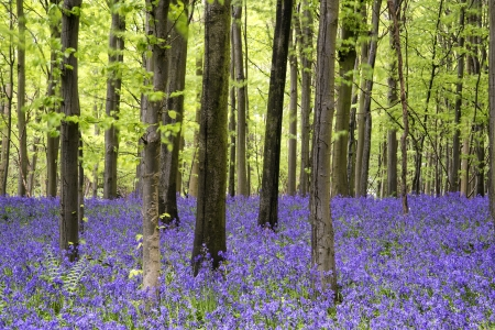 english countryside: Beautiful carpet of bluebell flowers in Spring forest landscape