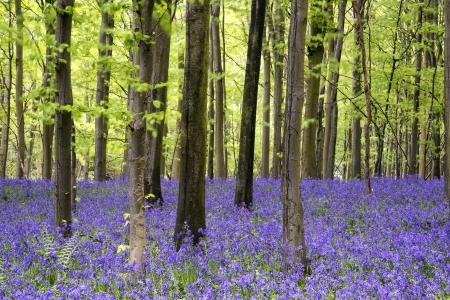 Mooi tapijt van Bluebell bloemen in de lente boslandschap