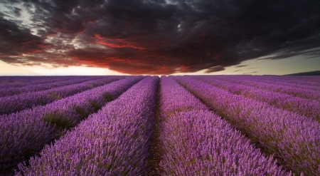 Beautiful image of lavender field Summer sunset landscape under red stormy sky photo