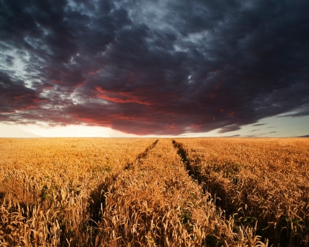 Beautiful image of wheatfield Summer sunset landscape under stormy sky photo