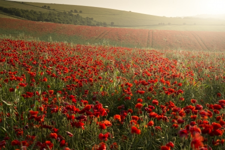 Beautiful landscape image of Summer poppy field under stunning sunset sky Stock Photo - 20857801