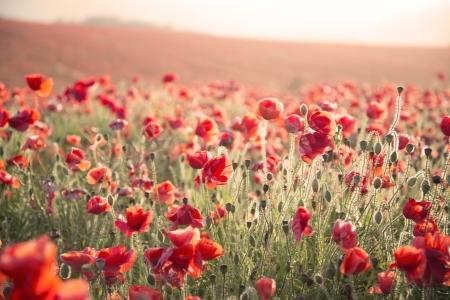 poppy field: Mooi landschap beeld van de zomer papaver veld onder stuning zonsondergang hemel met kruis verwerkte retro effect