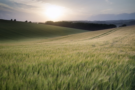 Beautiful Summer landscape of field of growing wheat crop\ during sunset