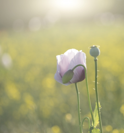 Beautiful portrait of purple poppy flower in sunlight photo