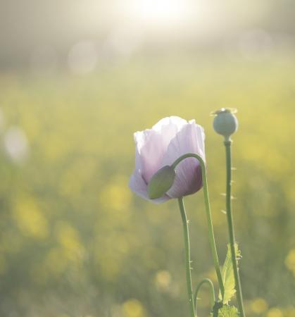 Mooi portret van paarse papaver bloem in zonlicht