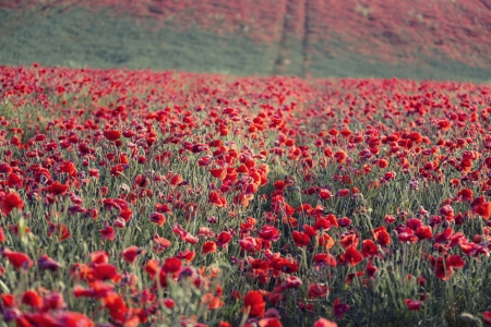 Beautiful landscape image of Summer poppy field photo