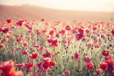 Beautiful landscape image of Summer poppy field under stuning sunset sky with cross processed retro effect