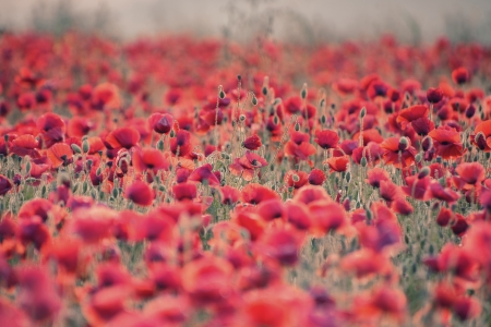 Beautiful Summer sunrise countryside field of poppies landscape with differential focus and shallow depth of field Stock Photo - 21074760