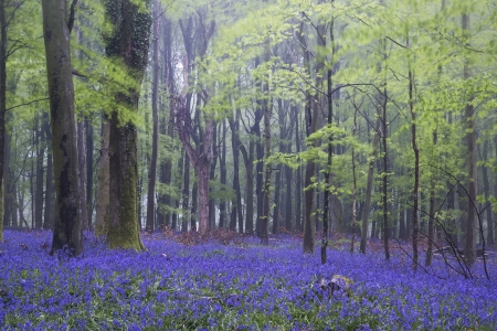 Beautiful carpet of bluebell flowers in misty Spring forest landscape photo