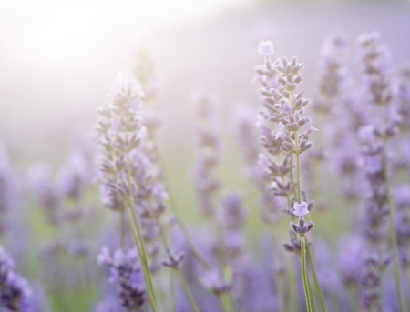 Beautiful lavender field with sun flare and shallow depth of field differential focus technique Imagens