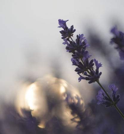 Beautiful differential focus technique giving shallow depth of field blurred bokeh sun effect in lavender landscape photo