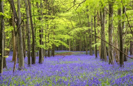 Beautiful carpet of bluebell flowers in Spring forest landscape photo