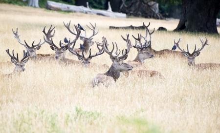rutting: Red deer stags in Summer field landscape