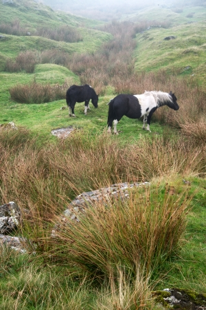 english countryside: Ponies in foggy landscape over Dartmoor National Park with rocky detail