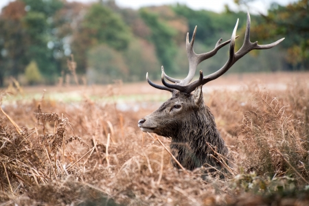 rutting: Red deer stag during rutting season.