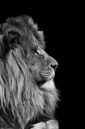 Portrait of Lion in black and white photo