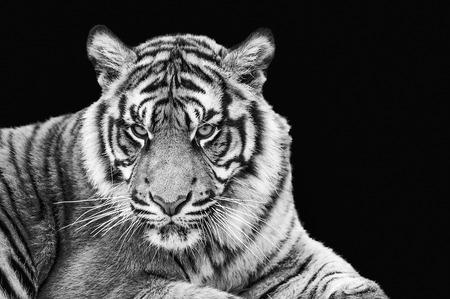 sumatran tiger: Ritratto di tigre di Sumatra in bianco e nero