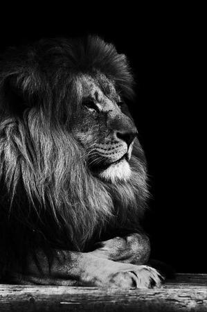 Portret van de leeuw in zwart-wit