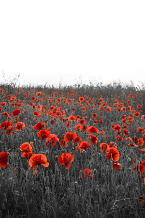 Beautiful Rememberence Day poppy field landscape  photo