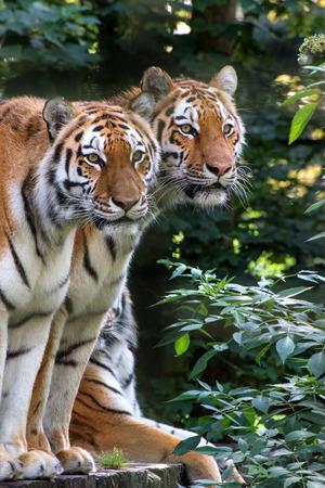 captivity: Endangered Bengal tiger is captivity Stock Photo