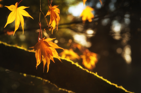 backlighting: Beautiful golden Autumn leaves with bright backlighting from sunrise Stock Photo